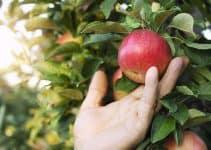 Qu'est-ce que le fruit picking?
